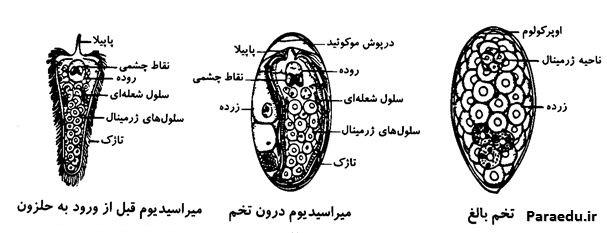 شکل شماتیک از تخم و میراسیدیوم فاسیـولا هپاتیکا