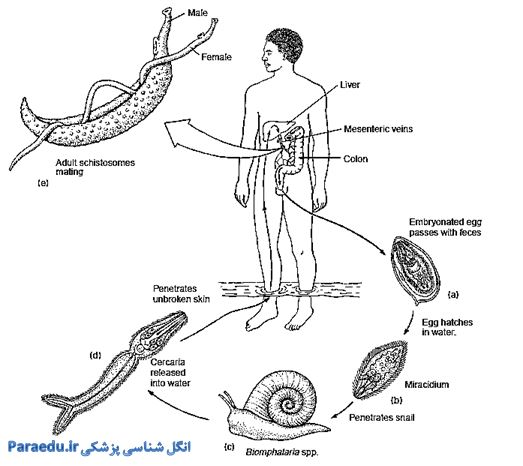 Schistosoma Life cycle2
