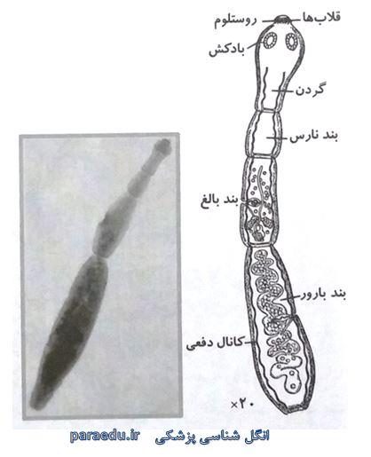 Echinococos granulosus Morphology 2