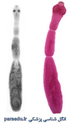 Echinococos granulosus Morphology 4