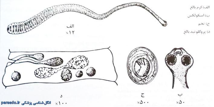 Hymenolepis nana Morphology10