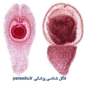 Hymenolepis nana Morphology3