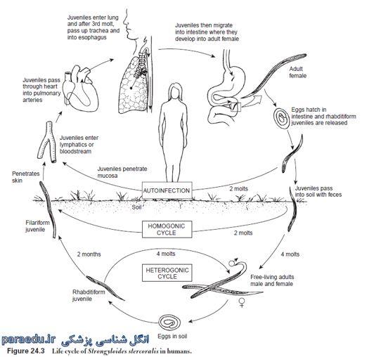 سیر تکاملی استرونژیلوئیدس استرکورالیس