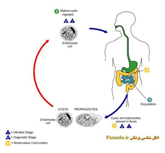 entamoeba coli life cycle