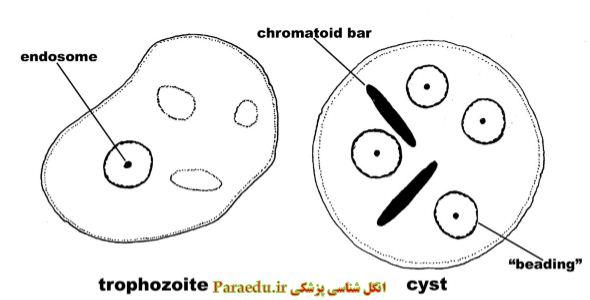 entamoeba coli morphology 4