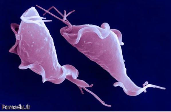 تروفوزئیت تریکوموناس واژینالیس، میکروسکوپ الکترونی