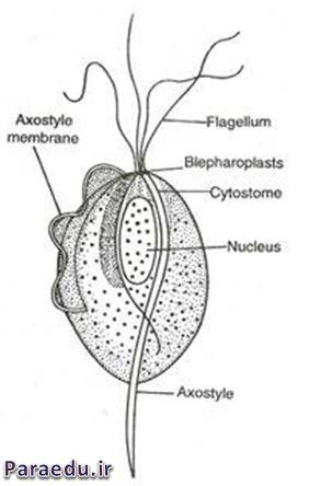 تصویر شماتیک از تریکوموناس واژینالیس که اجزاء آن مشخص شده است