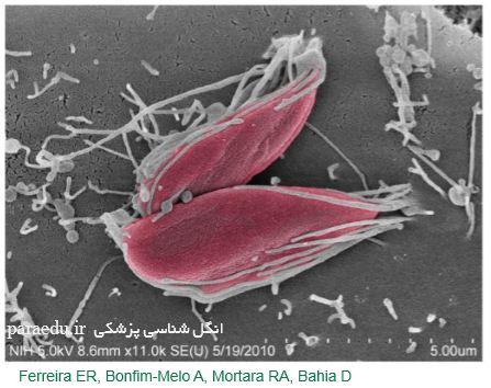 میکروسکوپ الکترونی تریپوماستیگوت تریپانوزوماکروزی Trypanosoma cruzi G strain amastigotes SEM