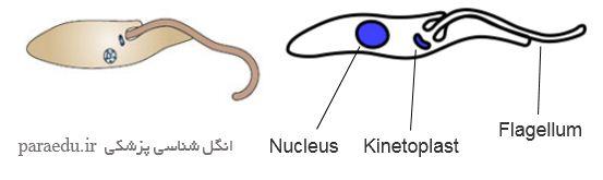 اپی ماستیگوت تاژکداران خونی و بافتی Epimastigote form