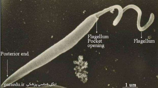 پروماستیگوت تاژکداران خونی و بافتی Leishmania donovani promastigotes SEM