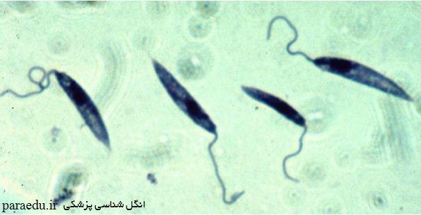 پروماستیگوت تاژکداران خونی و بافتی Leishmania promastigotes