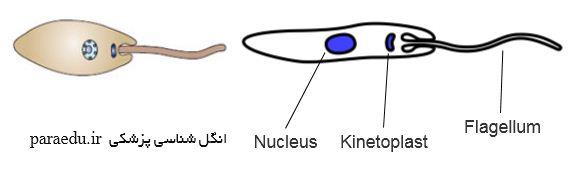 پروماستیگوت تاژکداران خونی و بافتی Promastigote form