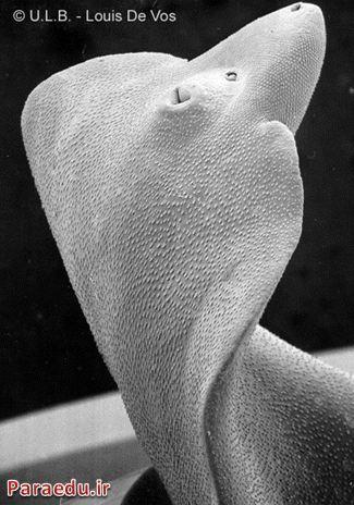 تصویر میکروسکوپ الکترونی SEM از کرم بالغ فاسیـولا هپاتیکا