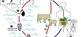 سیر تکاملی فاسیولا هپاتیکا